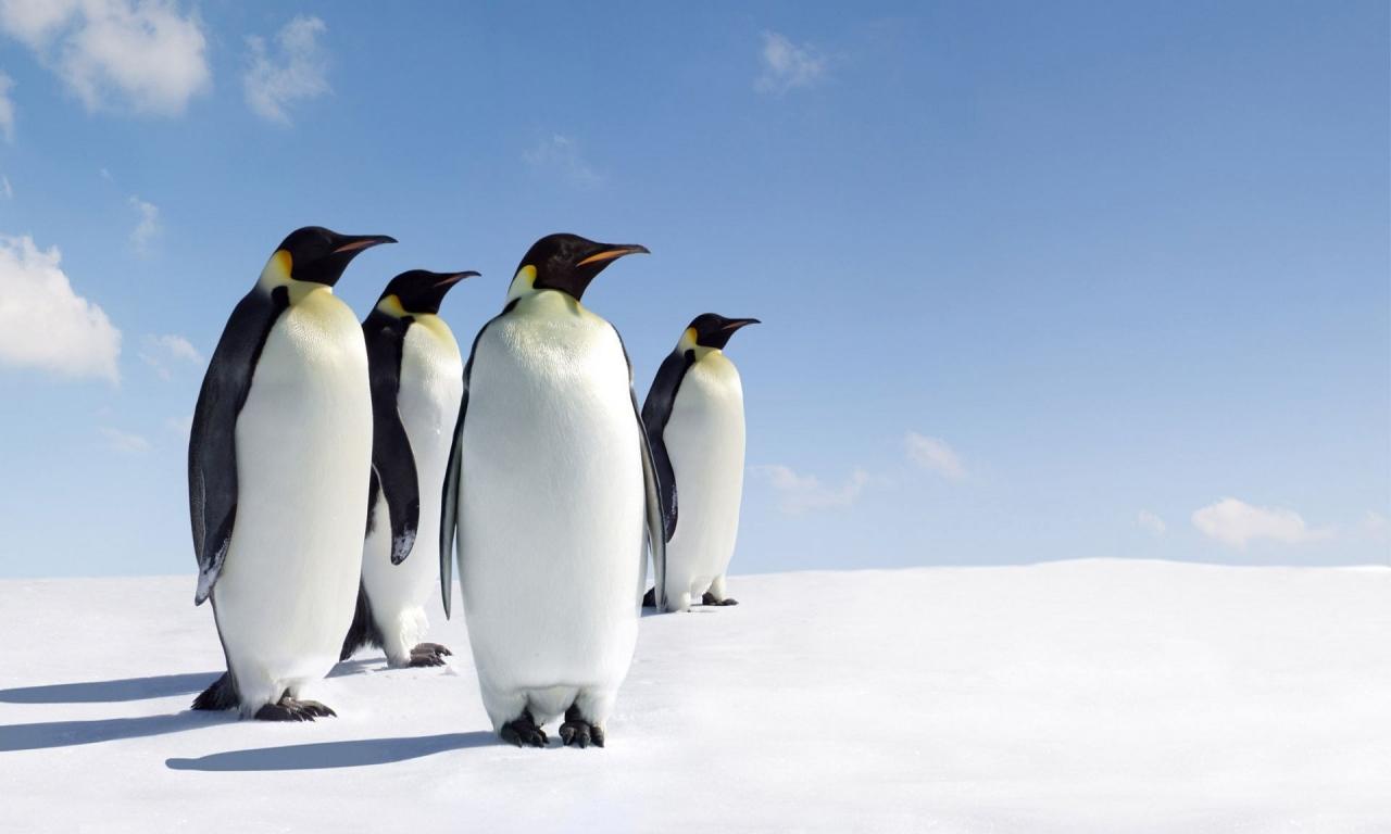 Pinguinos - 1280x768