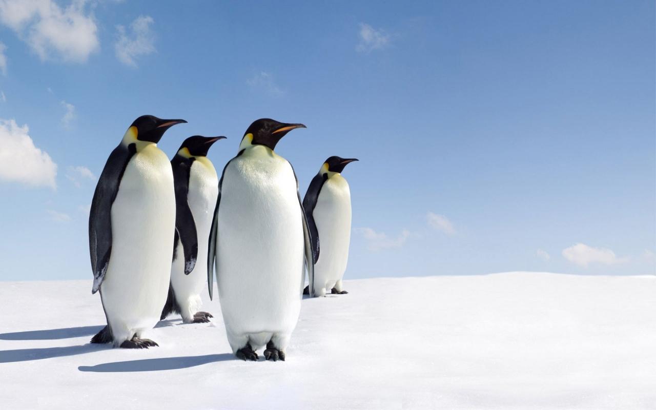 Pinguinos - 1280x800