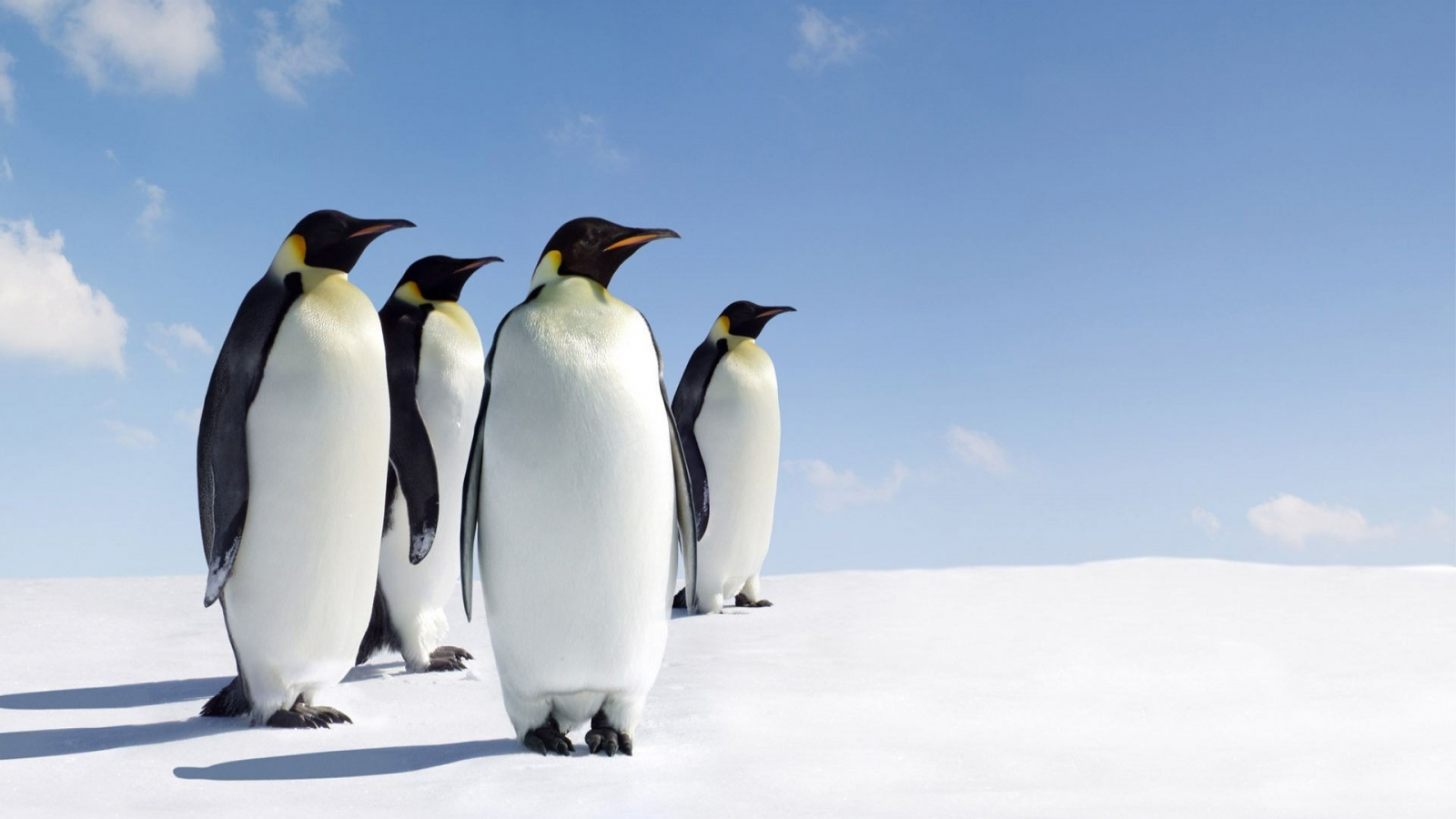 Pinguinos - 1600x900