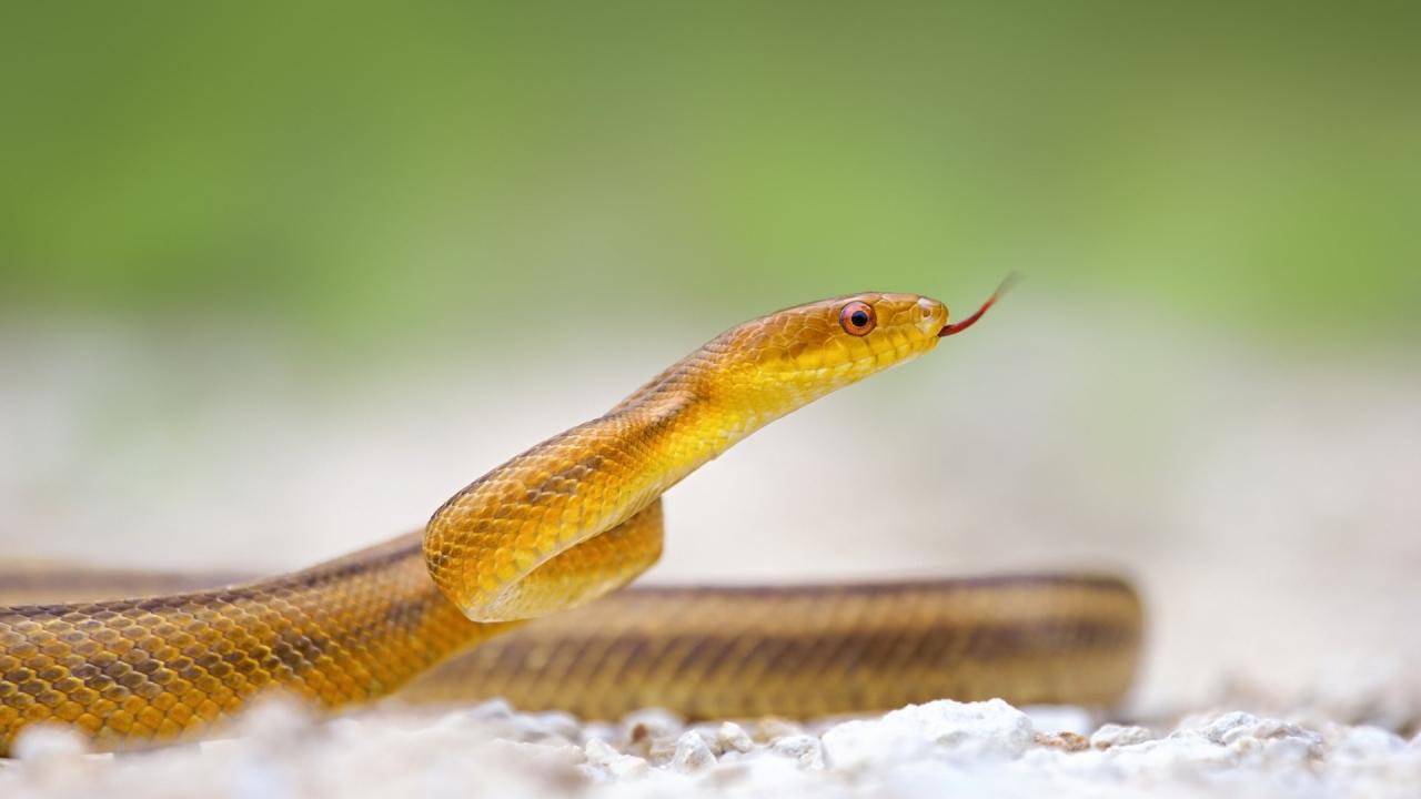 Serpiente amarilla - 1280x720