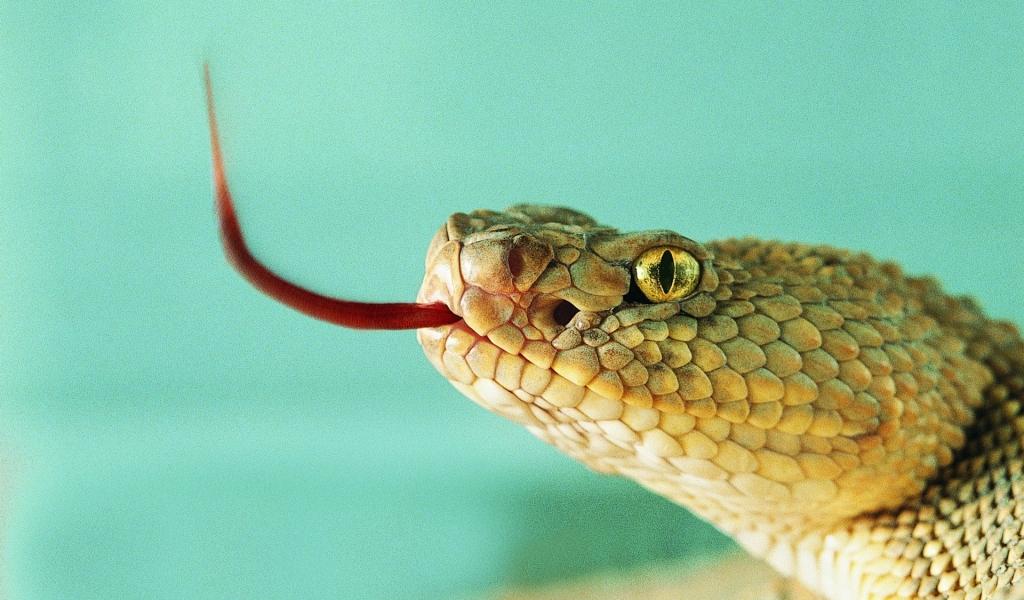 Serpiente sacando la lengua - 1024x600