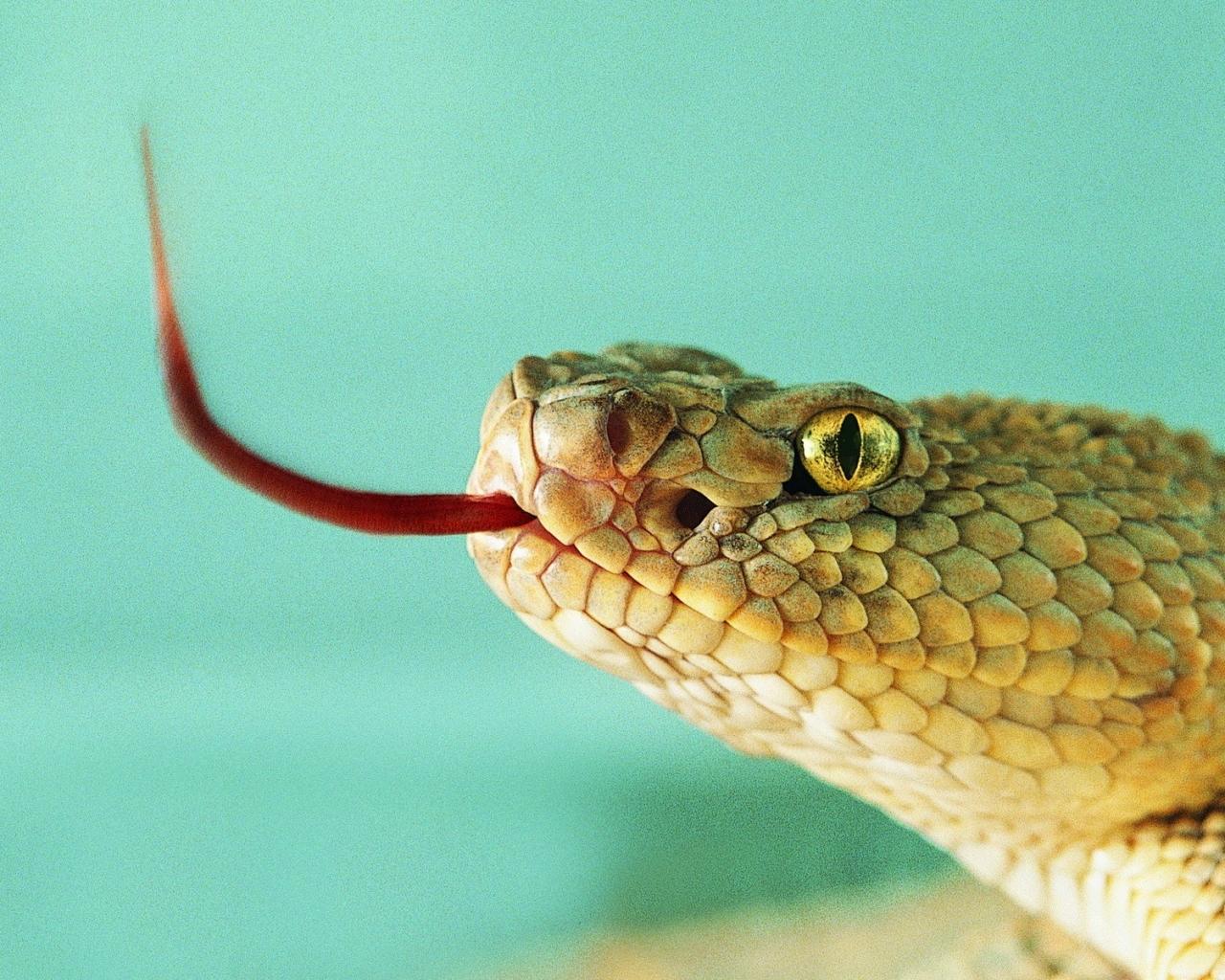 Serpiente sacando la lengua - 1280x1024