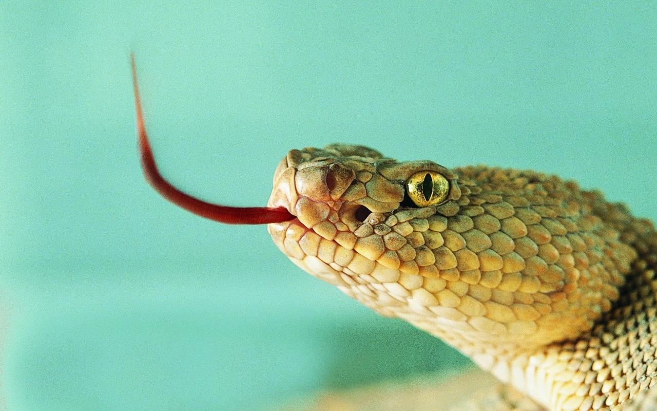 Serpiente sacando la lengua - 1280x800