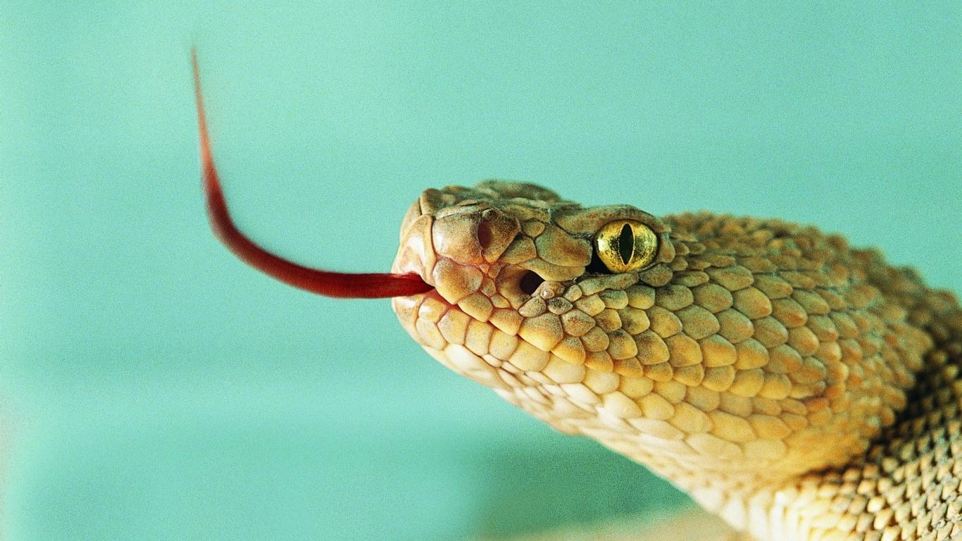 Serpiente sacando la lengua - 1366x768
