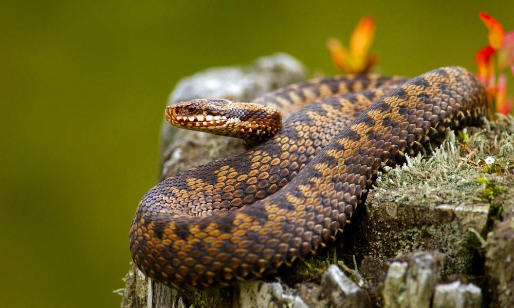 Serpientes venenosas - 1000x600