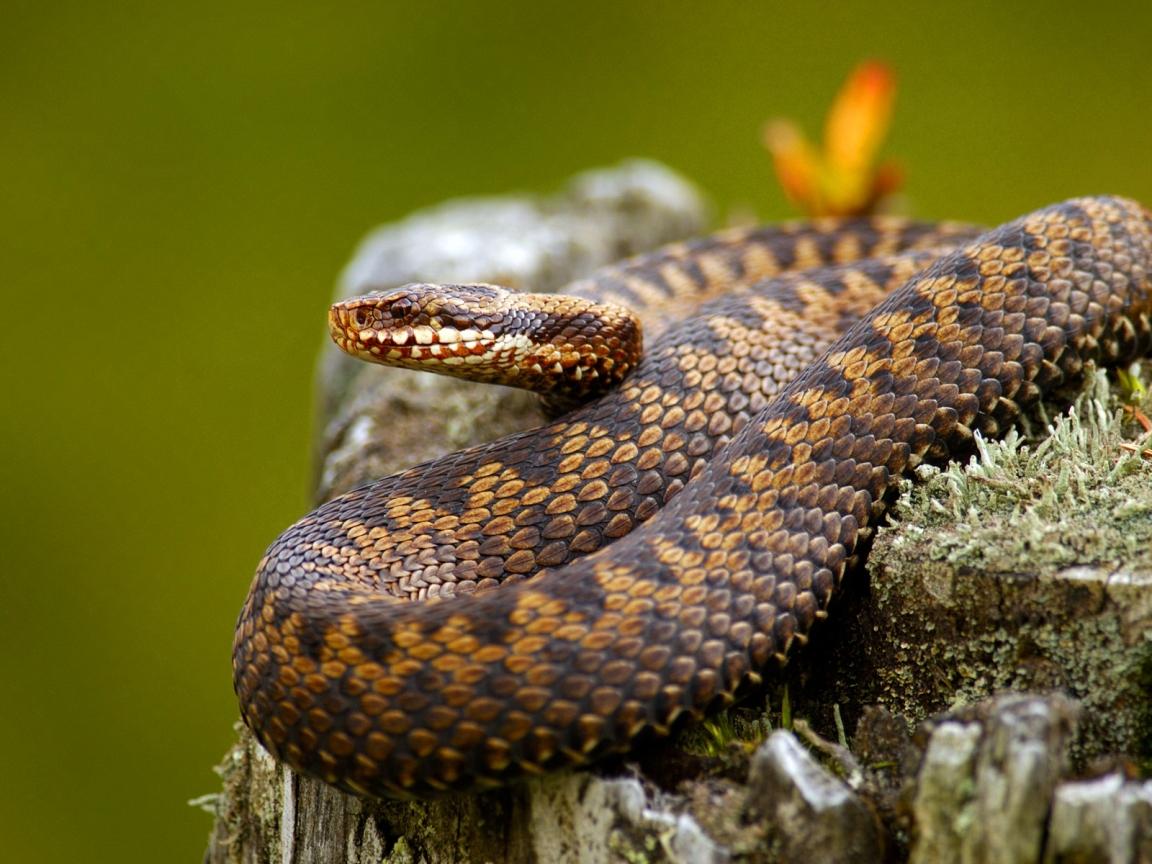 Serpientes venenosas - 1152x864