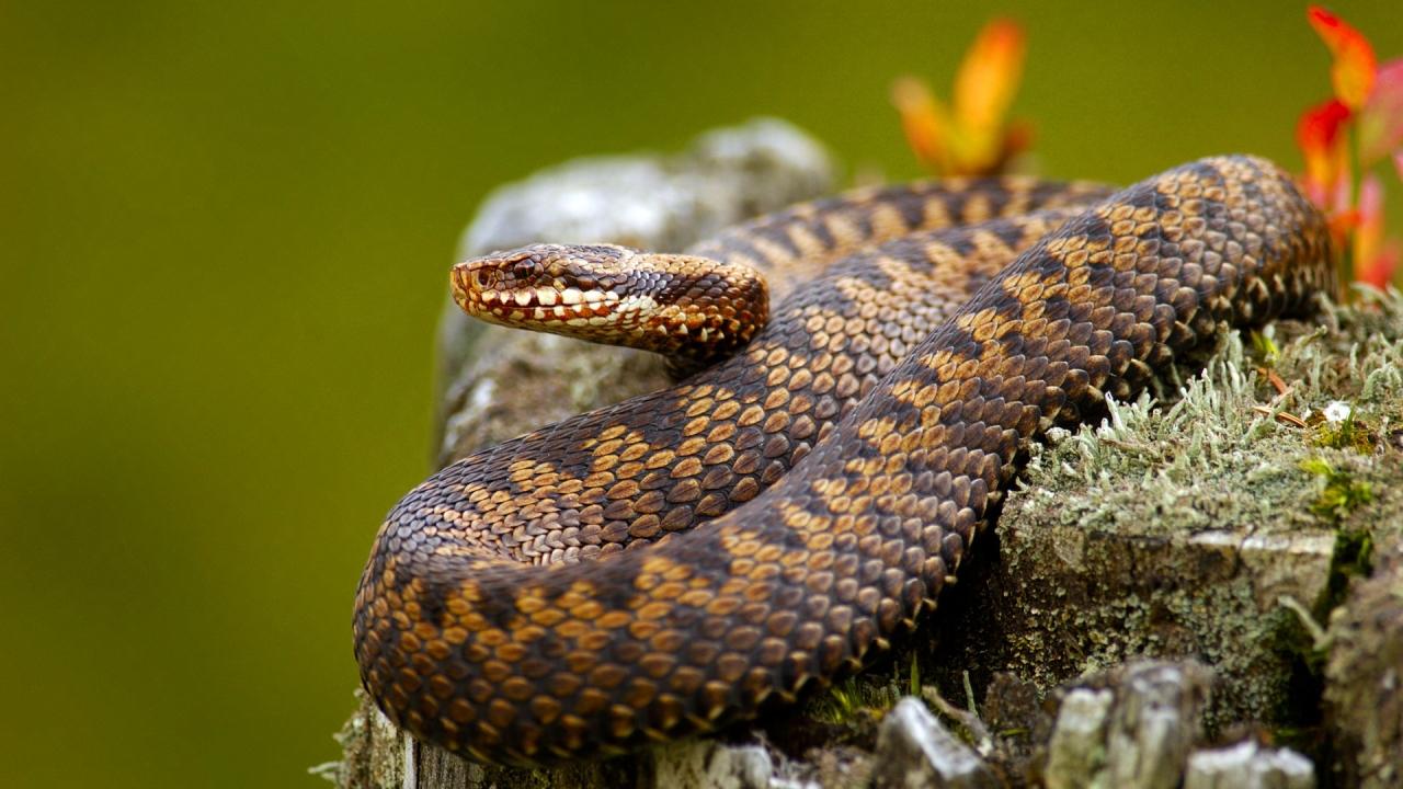 Serpientes venenosas - 1280x720