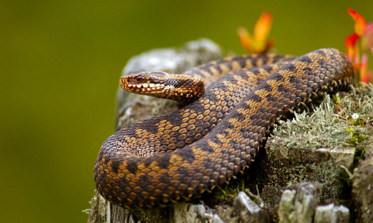 Serpientes venenosas - 1280x768