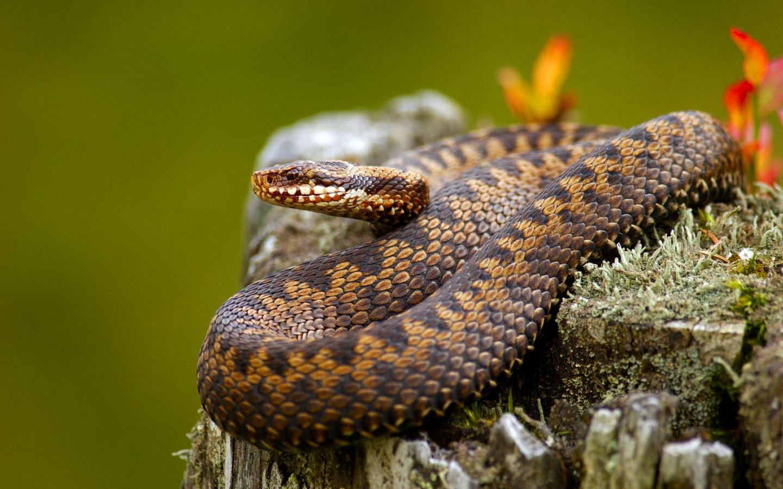 Serpientes venenosas - 1440x900