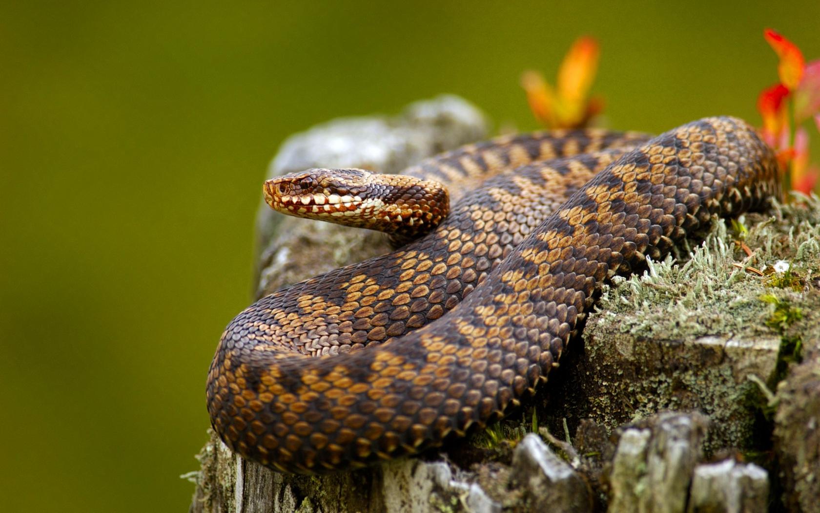 Serpientes venenosas - 1680x1050