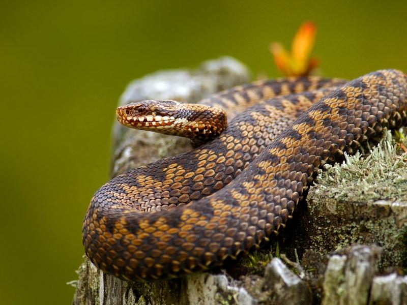 Serpientes venenosas - 800x600