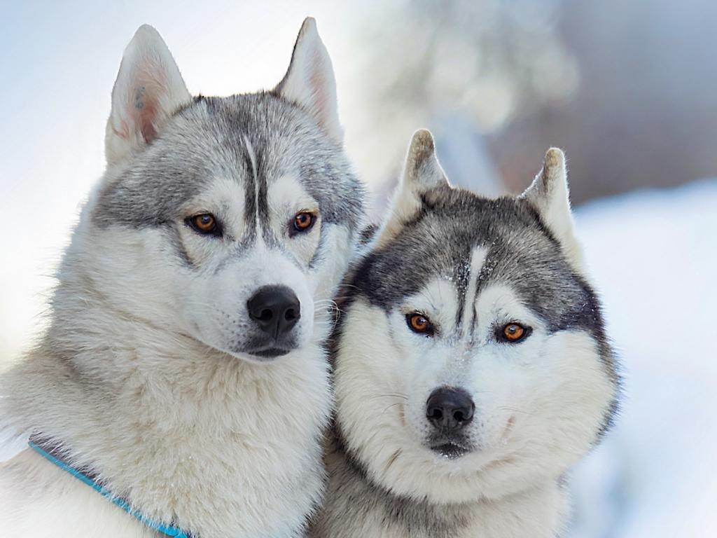 Perros Husky Siberiano Fondos De Pantalla Hd De Animales 2: Siberianos Hd 1024x768
