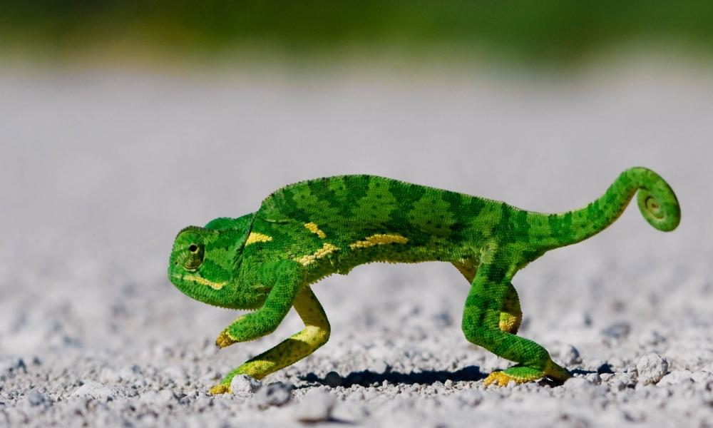 Un camaleón verde - 1000x600
