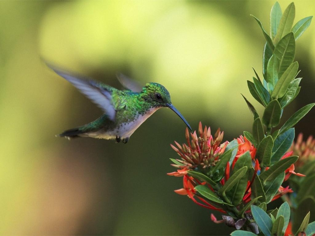 Un colibrí en una flor - 1024x768