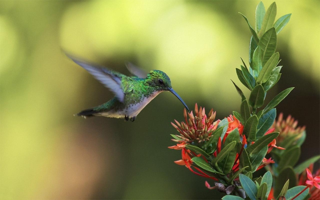 Un colibrí en una flor - 1280x800