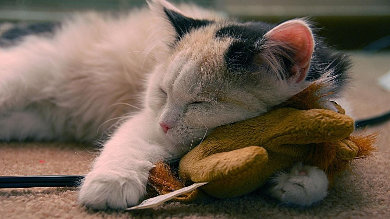 Un gato durmiendo - 1280x720