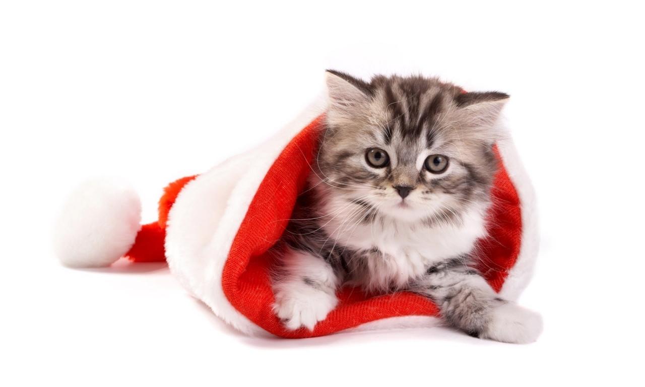Un gato en un gorro de navidad - 1280x768