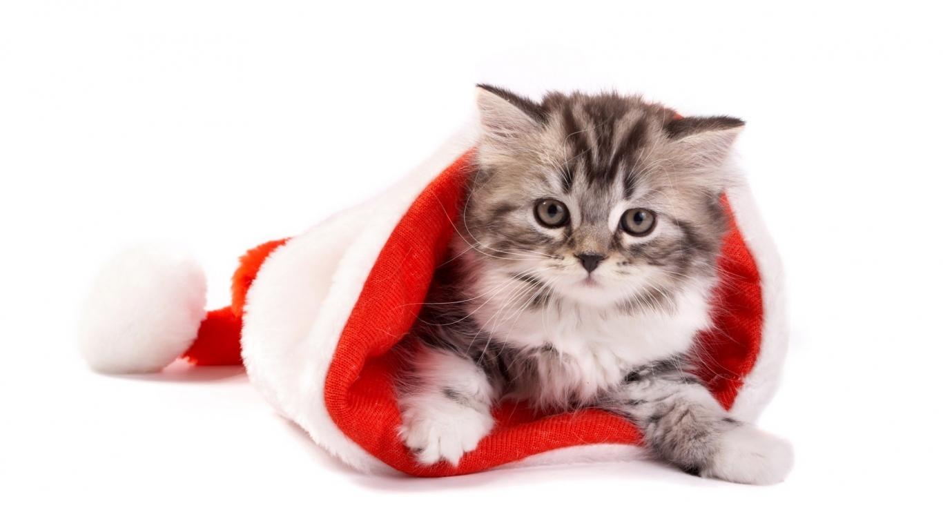 Un gato en un gorro de navidad - 1366x768