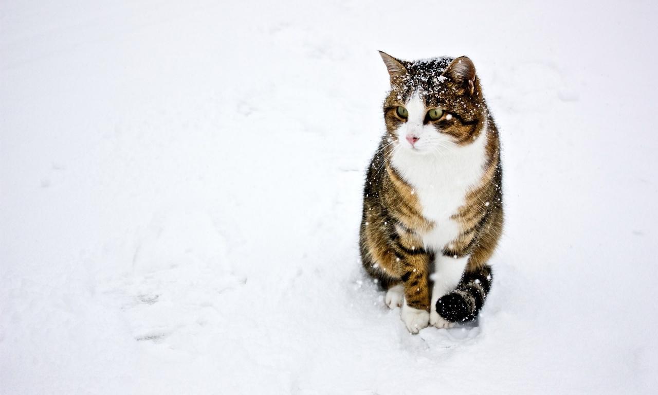 Un gato paseando en la nieve - 1280x768