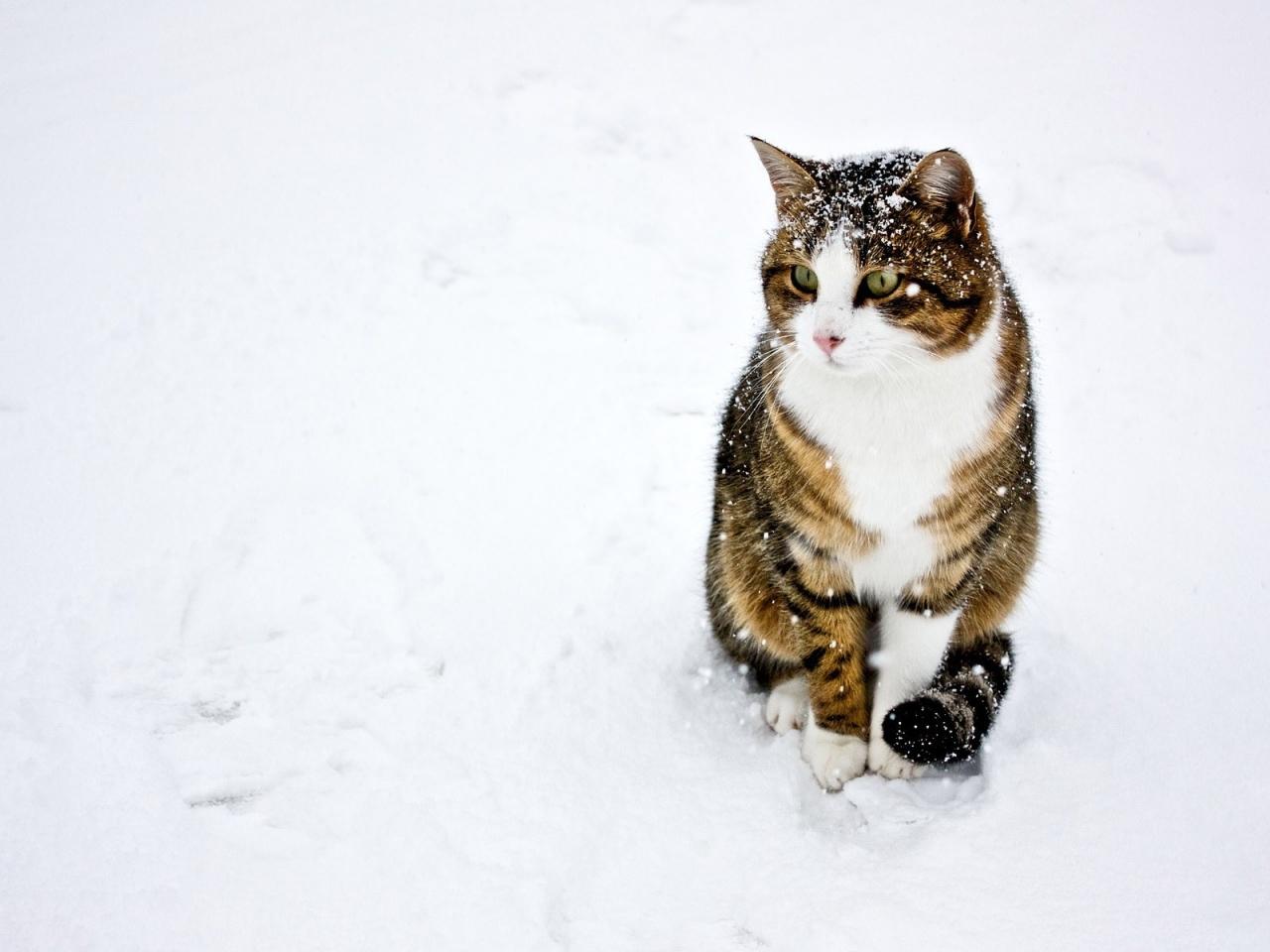 Un gato paseando en la nieve - 1280x960