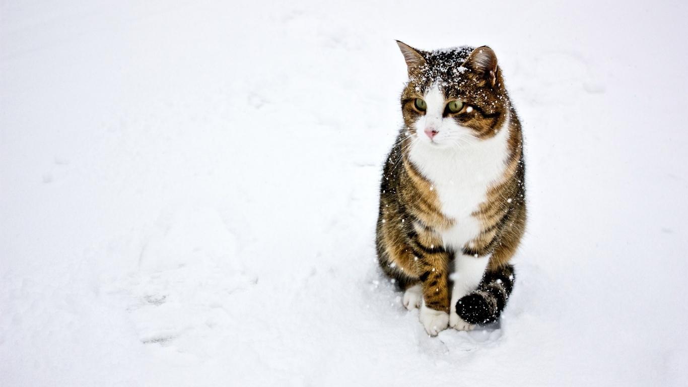 Un gato paseando en la nieve - 1366x768