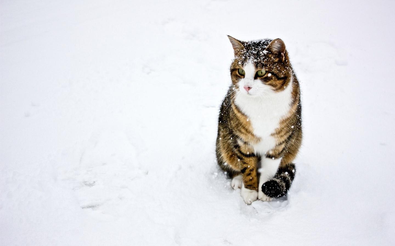 Un gato paseando en la nieve - 1440x900