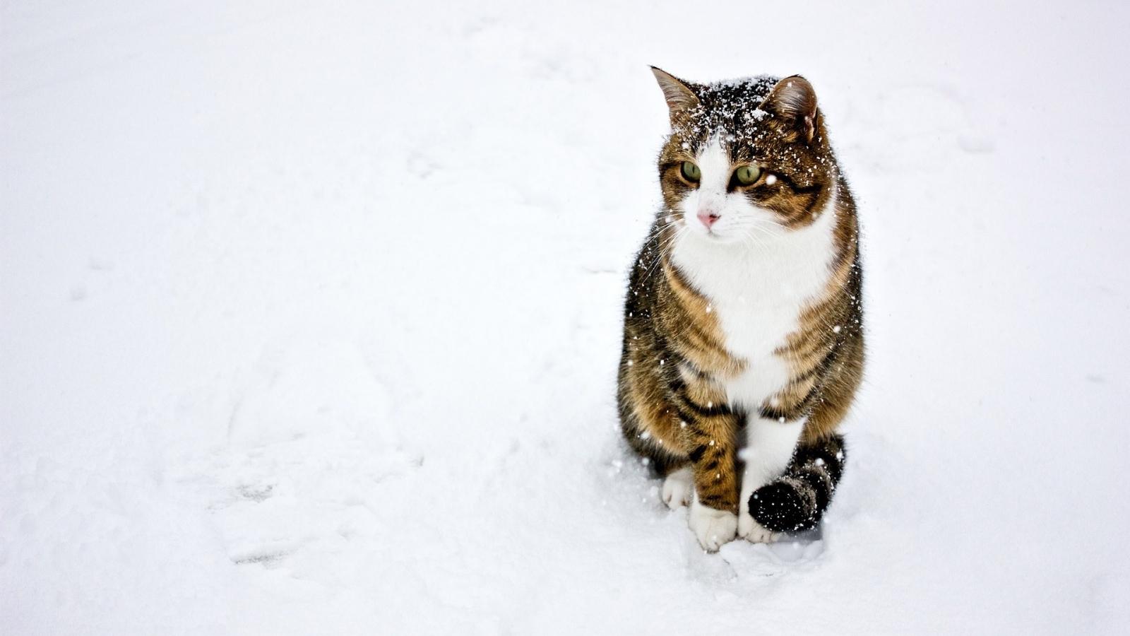Un gato paseando en la nieve - 1600x900