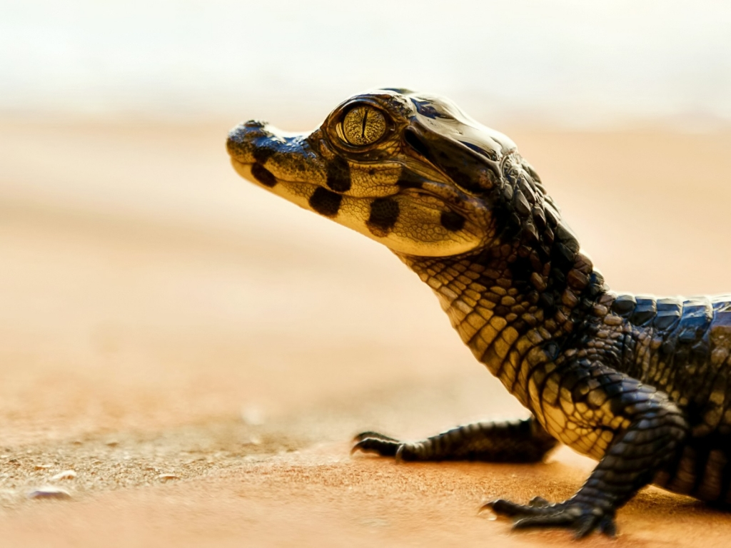 Un pequeño caimán - 1024x768
