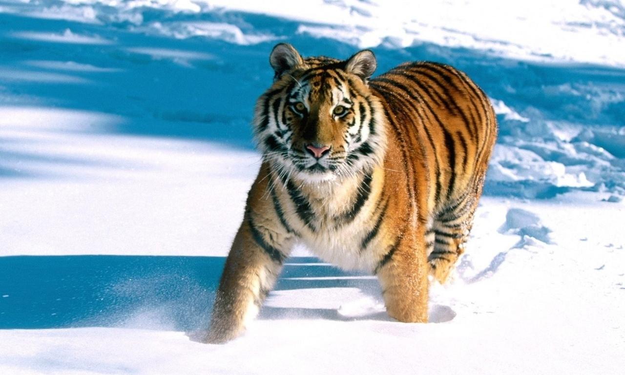 Un tigre en la nieve - 1280x768