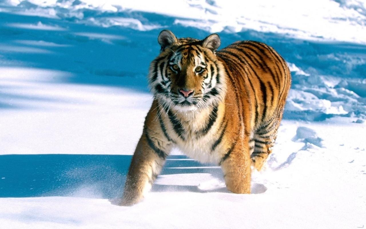 Un tigre en la nieve - 1280x800