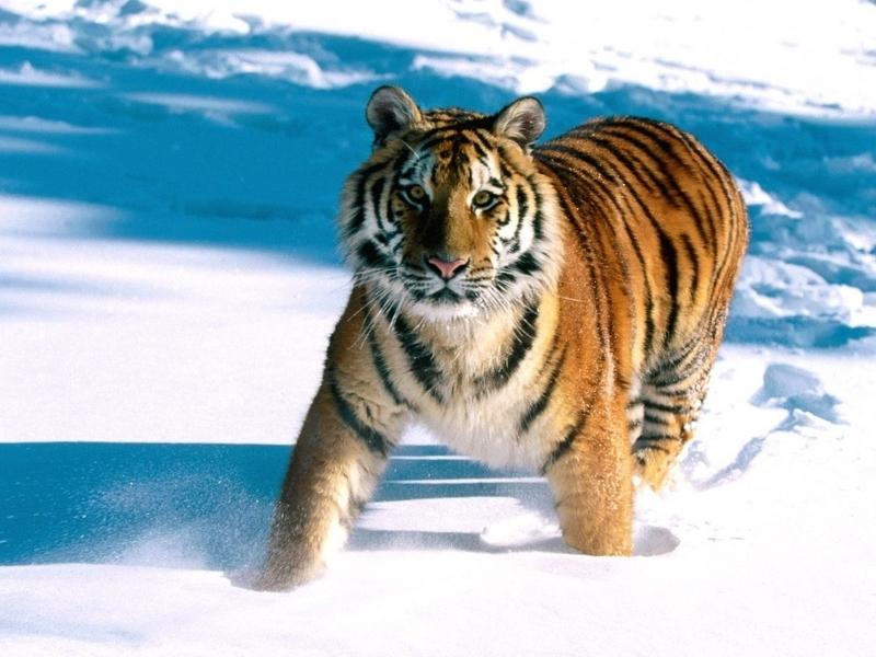 Un tigre en la nieve - 800x600