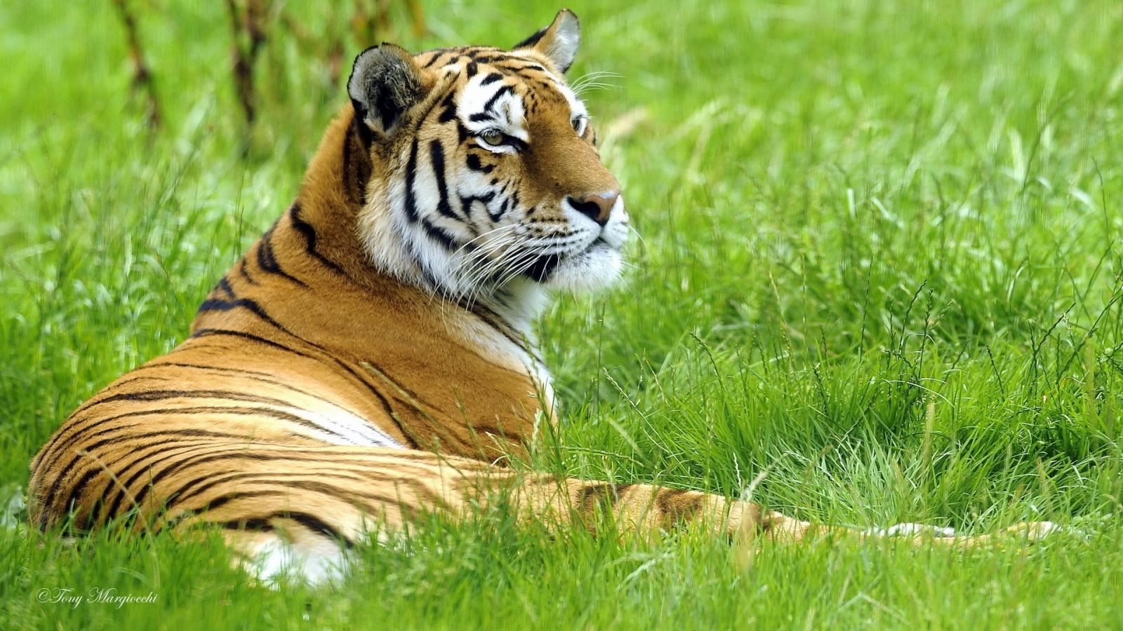 Un tigre en mi jardín - 1600x900
