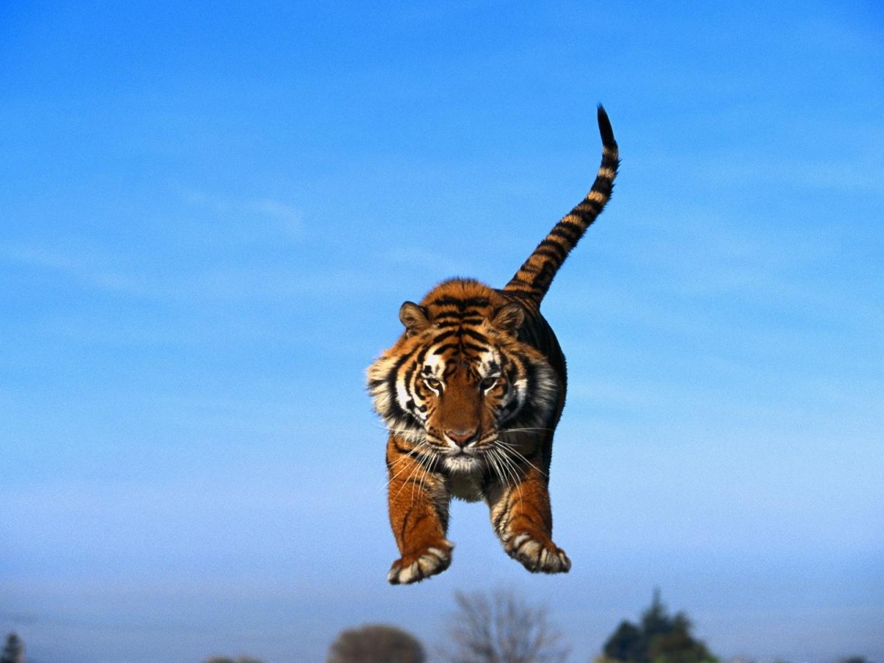 Un tigre saltando - 1280x960