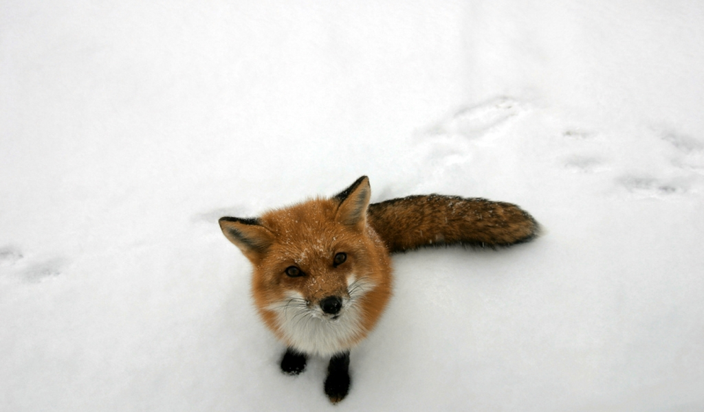 funny wallpaper red fox - photo #17