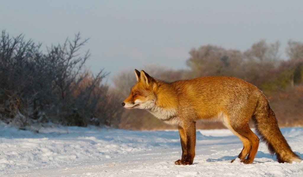 Un zorro en las nieves - 1024x600