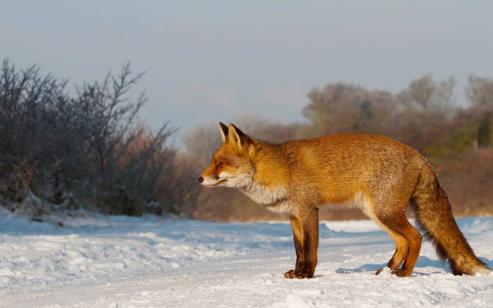 Un zorro en las nieves - 1680x1050