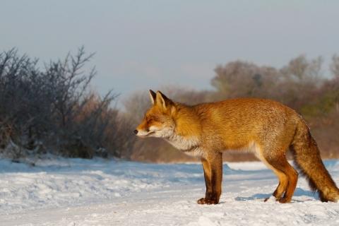 Un zorro en las nieves - 480x320