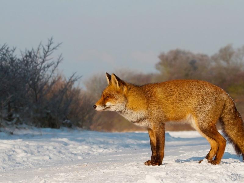 Un zorro en las nieves - 800x600
