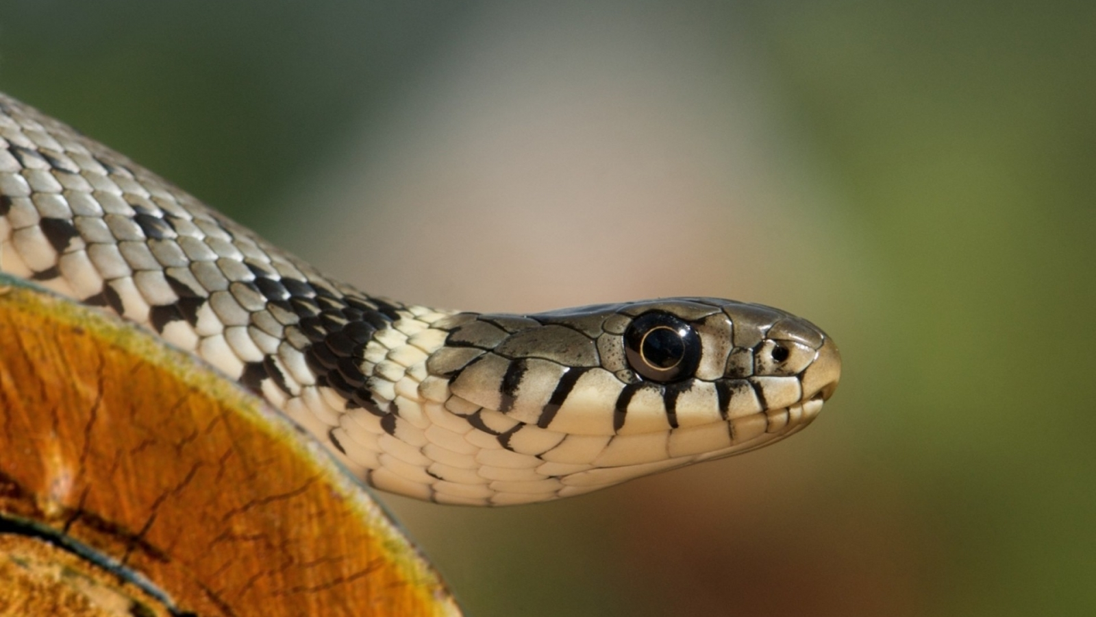 Una cobra - 1600x900