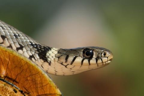 Una cobra - 480x320
