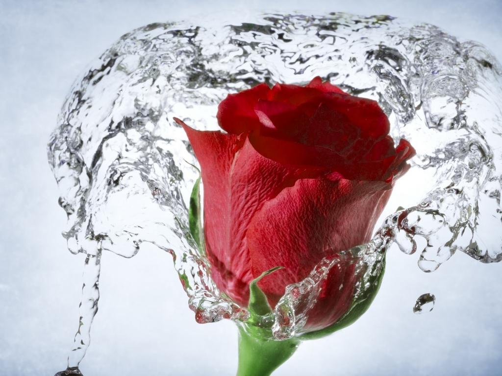 Una flor en el agua - 1024x768