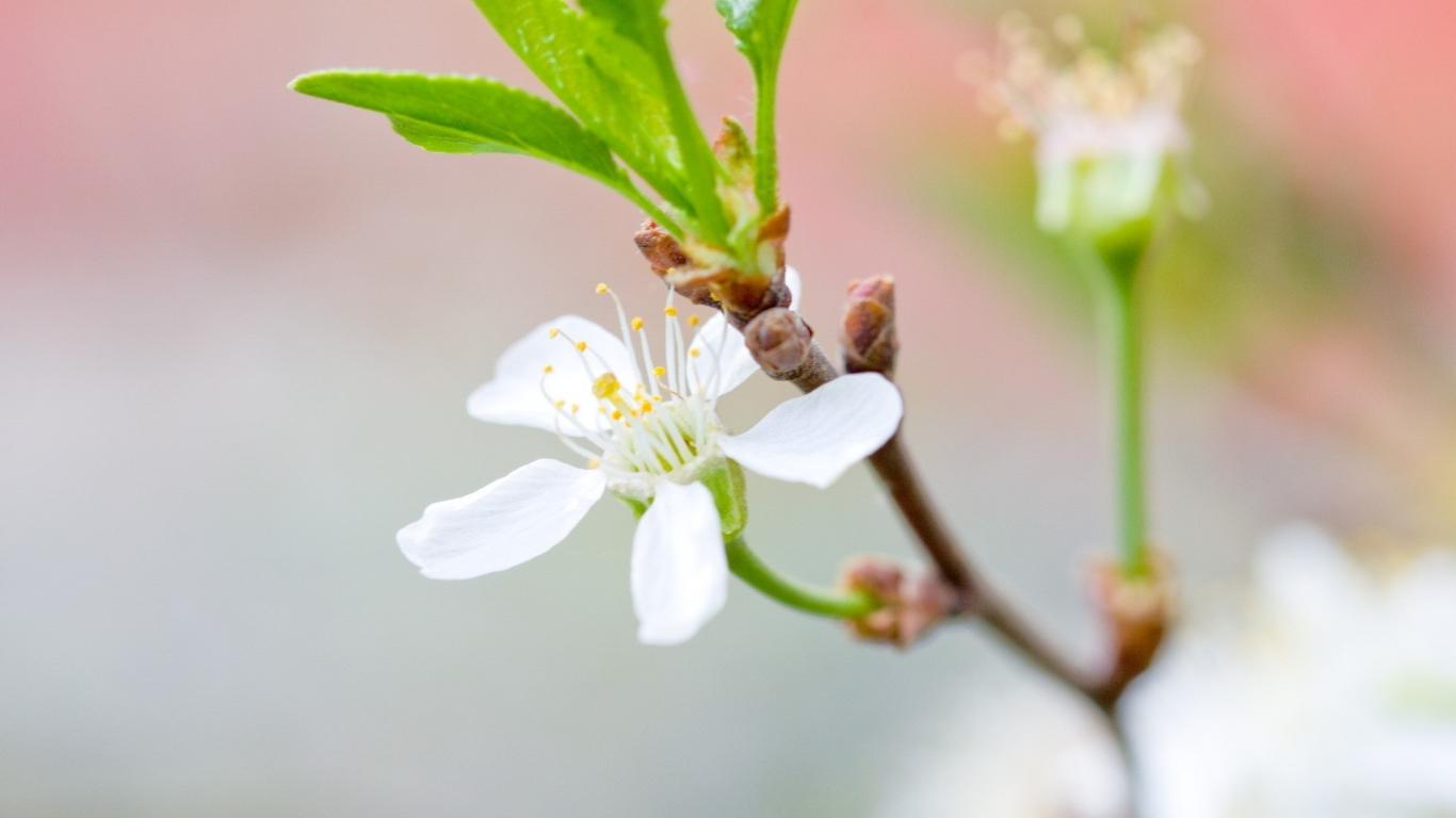 Una hermosa flor blanca - 1366x768