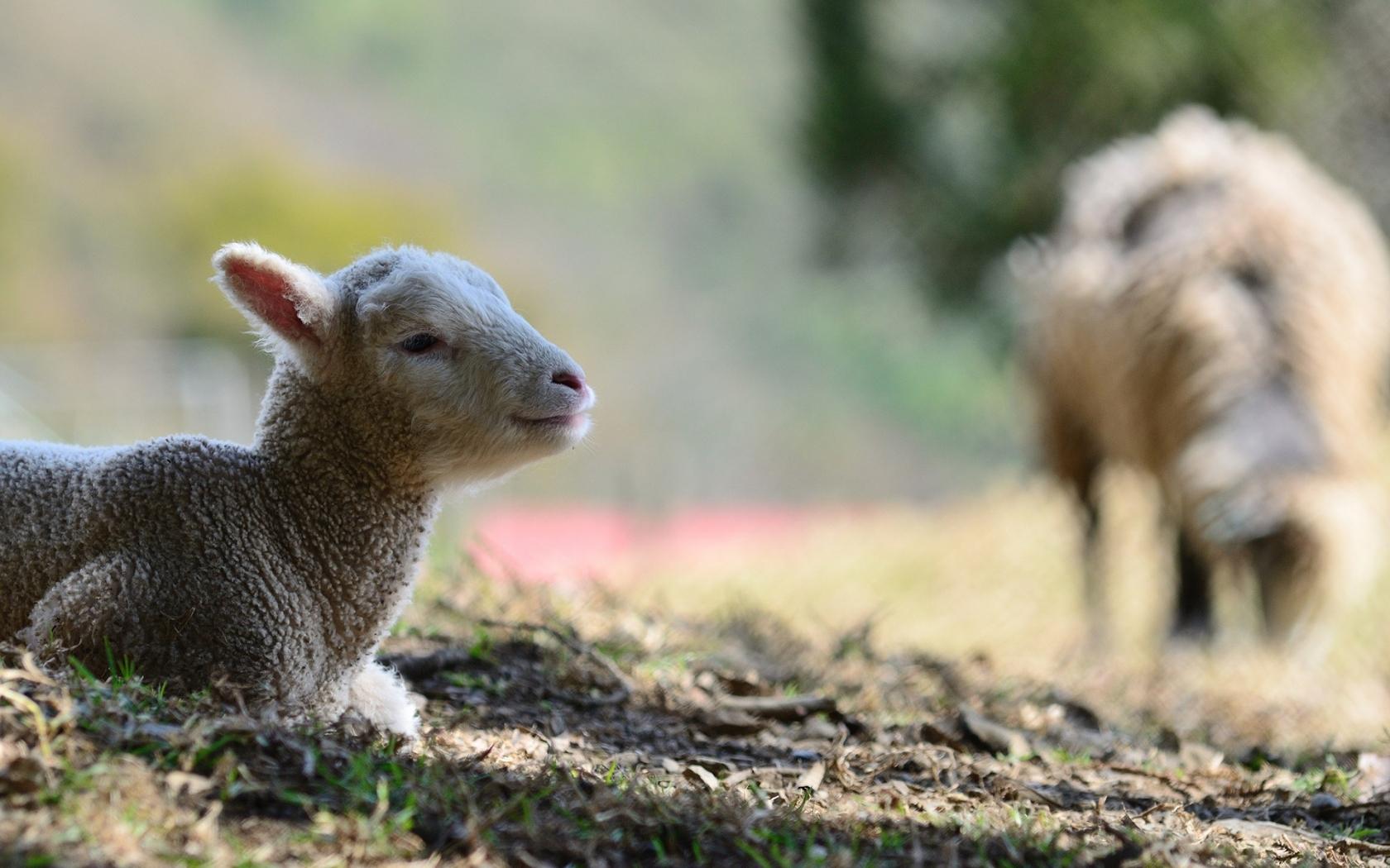 Una oveja - 1680x1050