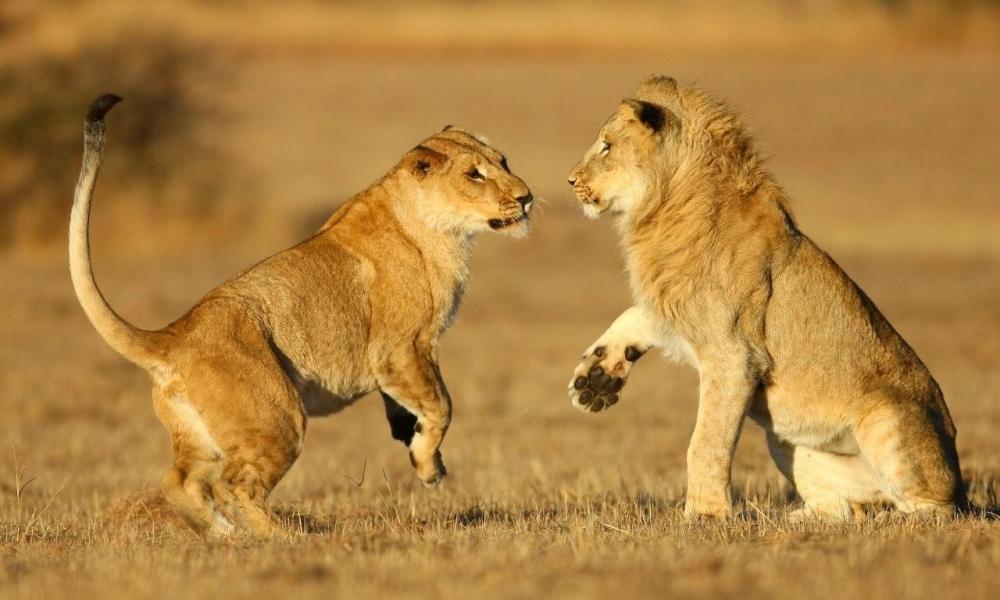 Una pareja de leones - 1000x600