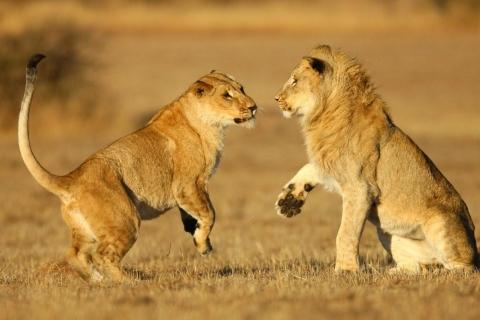 Una pareja de leones - 480x320