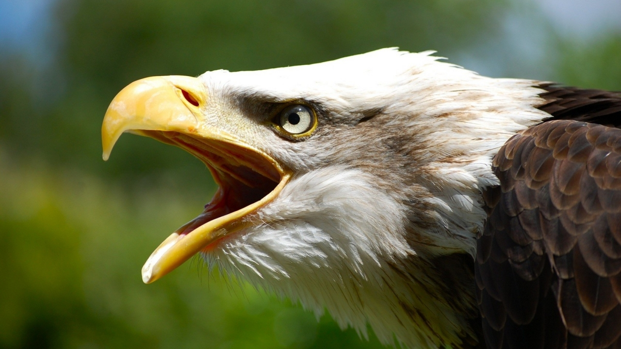 Aguila abriendo la boca - 1280x720