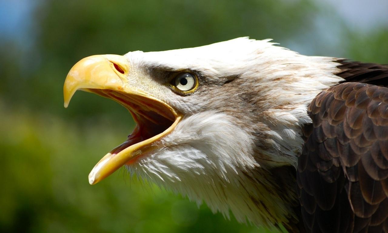 Aguila abriendo la boca - 1280x768