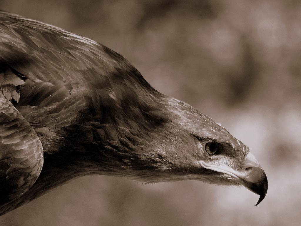 Aguila Marron en caceria - 1024x768
