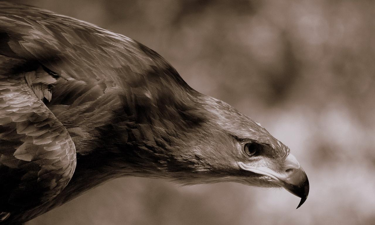 Aguila Marron en caceria - 1280x768