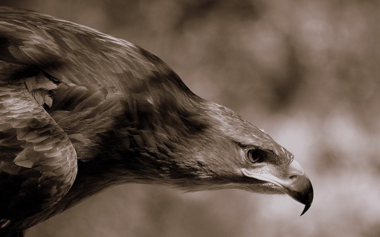 Aguila Marron en caceria - 1280x800